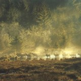 Bayview-Oxbow-Elk-in-Morning