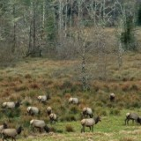 Elk.in_.wetlands.2.2011-1