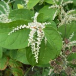 japanese-knotweed-course