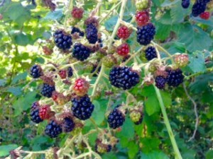 Invasive and delicious blackberry.