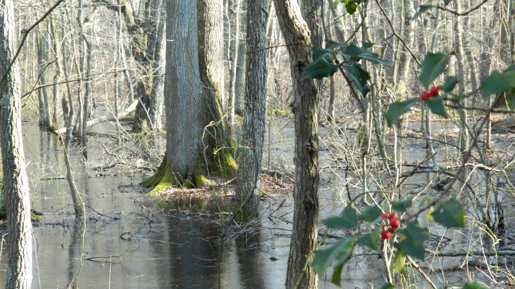 Holly of the Jersey Wetlands, Cletus Beckel
