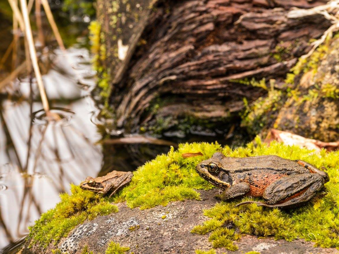 Red Legged Frogs, Karl Konecny
