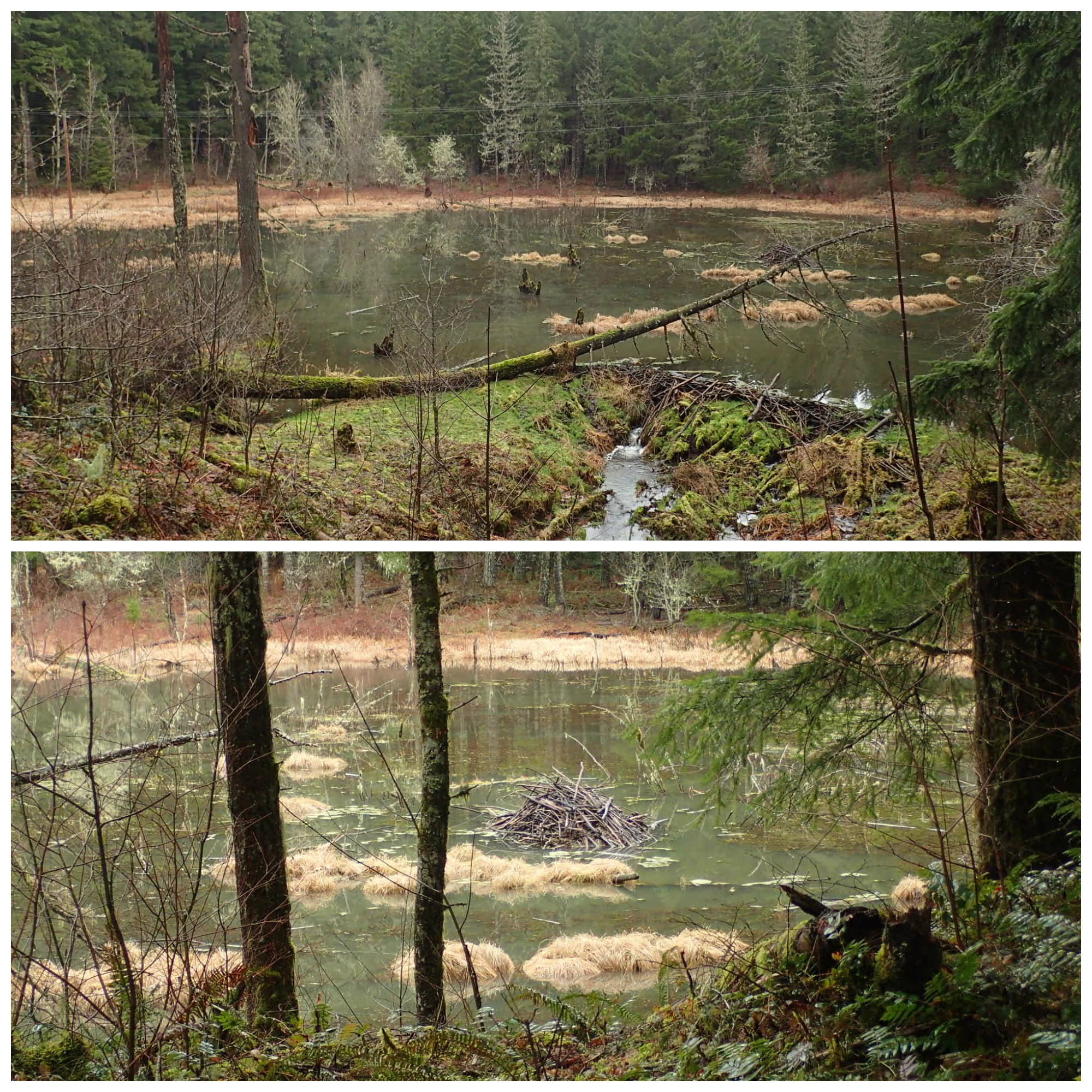 Ripplebrook beaver lodge and dam, Heather Chapin