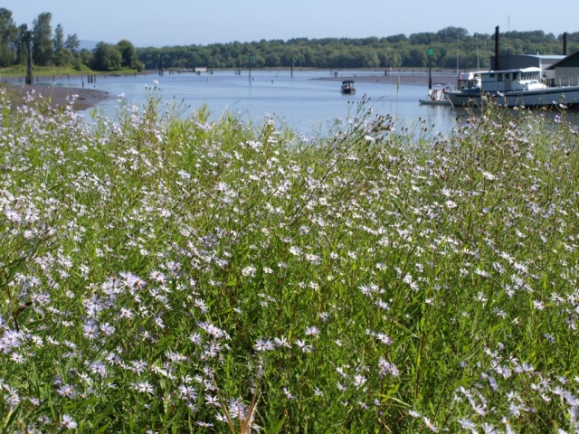 Asters Along Scappoose Bay, Lona Pierce