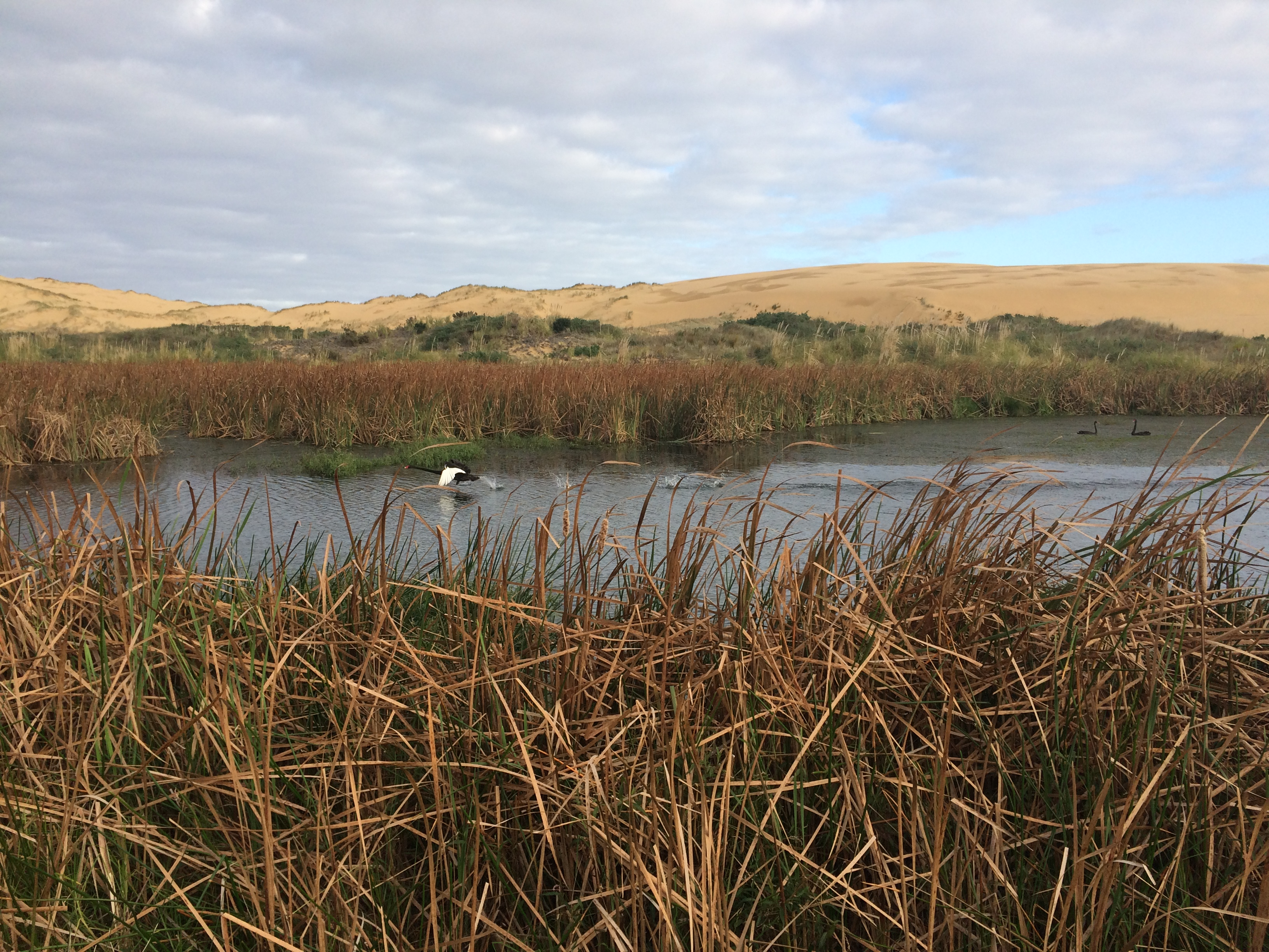 Black Swan on Te Werahi Lagoon, Lisa Forester
