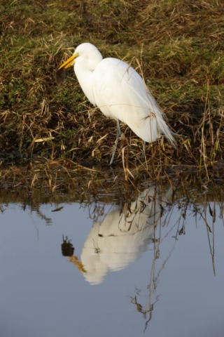 Egret with Lunch, Mike Bracy