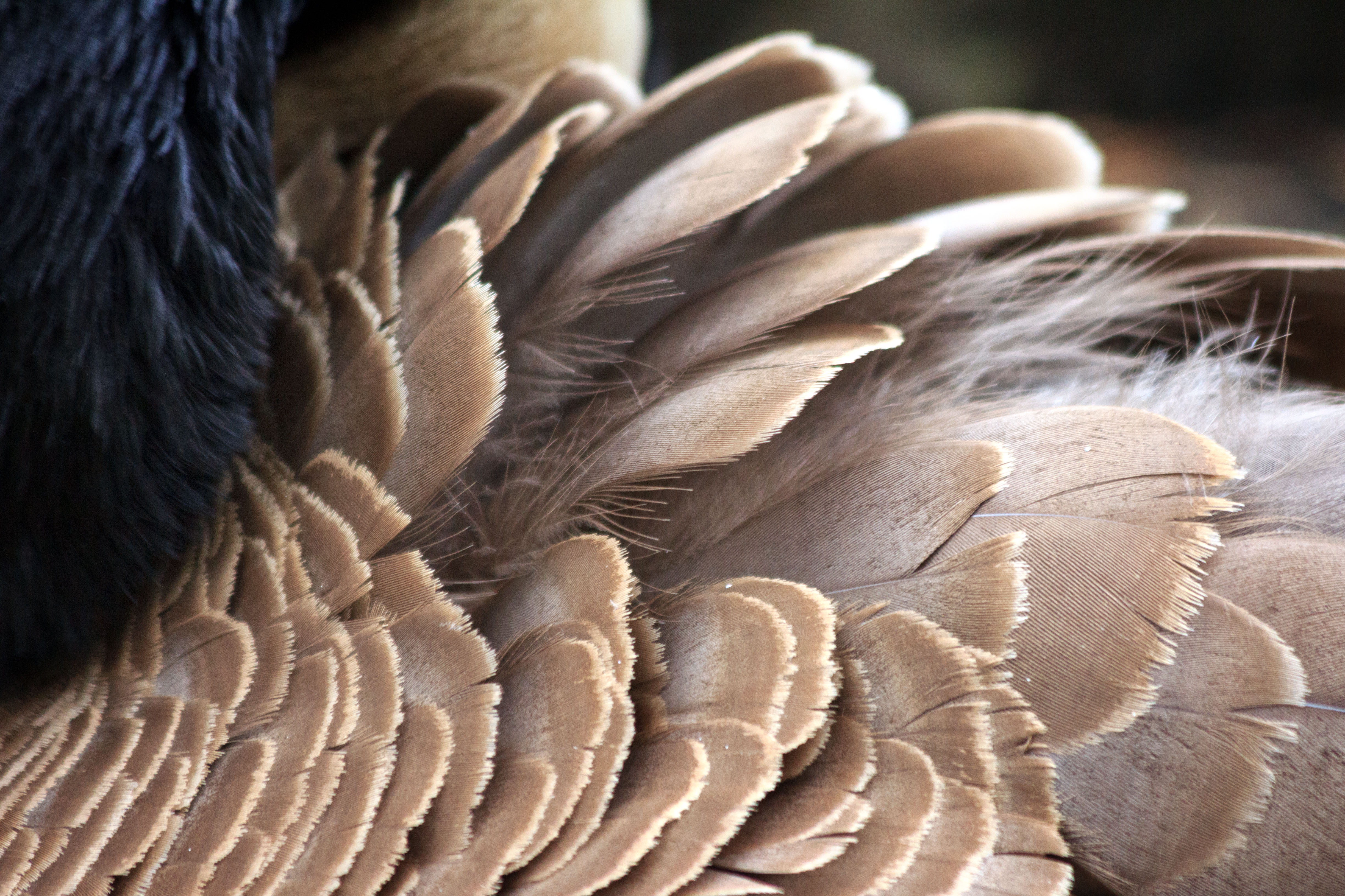 Feather Beauty Canada Goose, Emily Miller