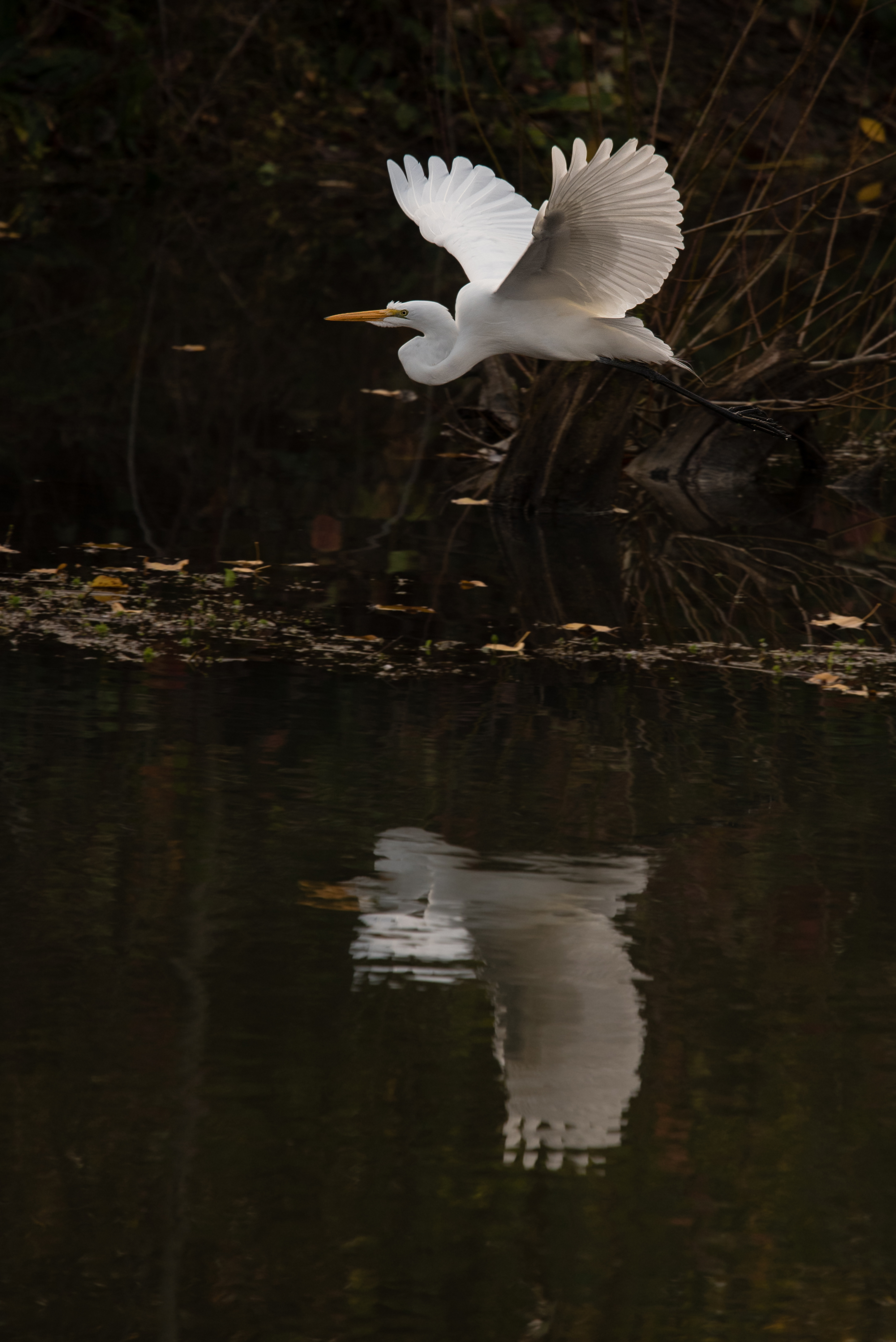 Great Egret, Kenji Shiroma