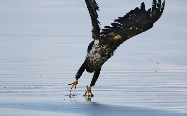 Juvenile Eagle Liftoff, Mike Annes
