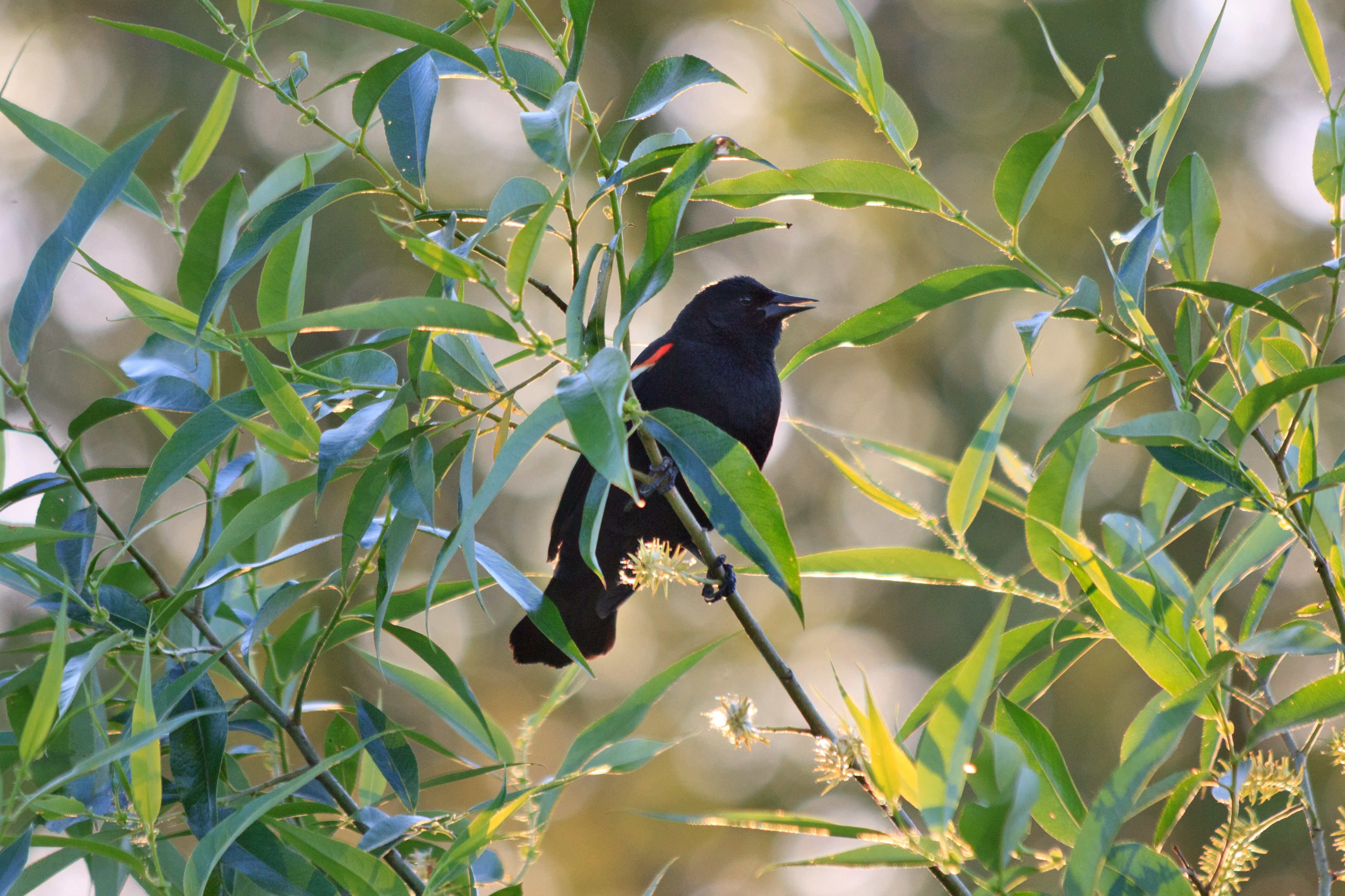 Red-Winged Blackbird 1, Emily Miller