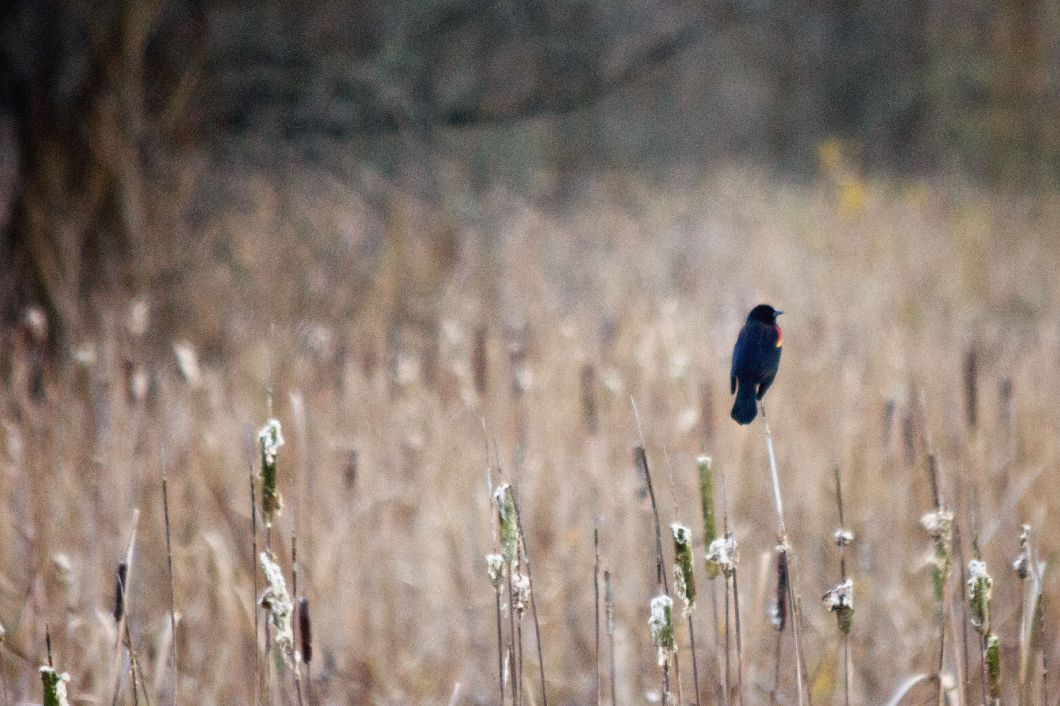 Red-Winged Blackbird 2, Emily Miller