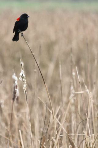 Red-Winged Blackbird, Emily Miller