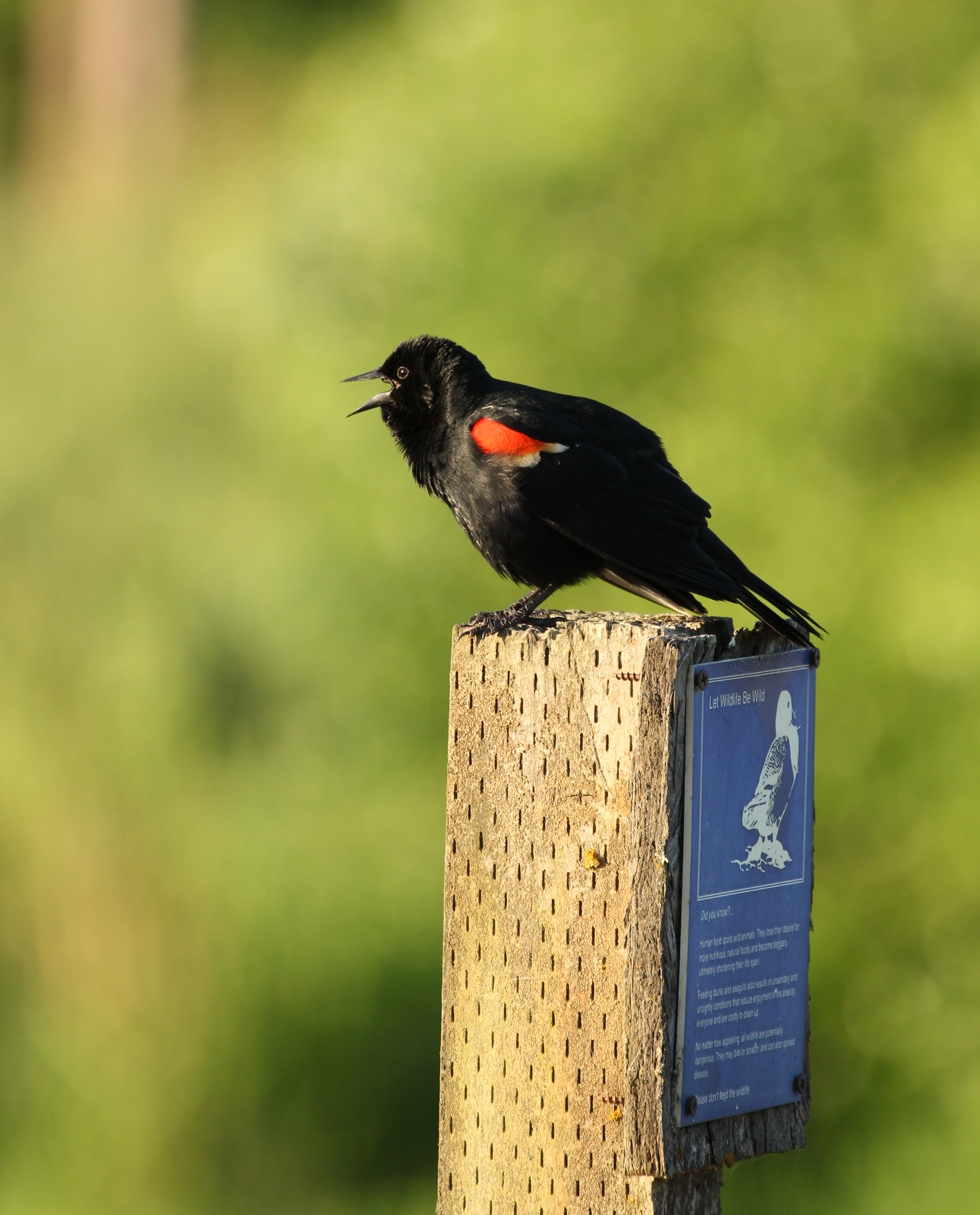 Redwing Blackbird at Hedges Marsh, Dana Entler