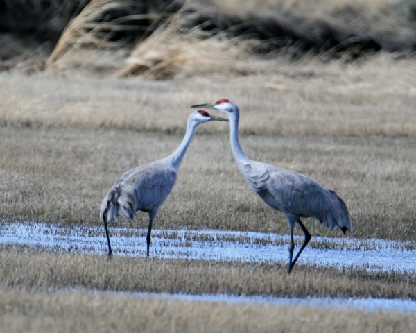 Sand Hill Cranes Migrating North, Mike Annes