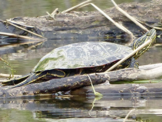 Western Painted Turtle, Tara Baker