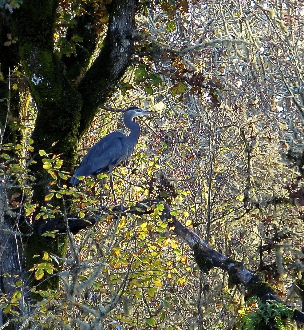 Blue Heron Autumnn Roost, Bill Marshall