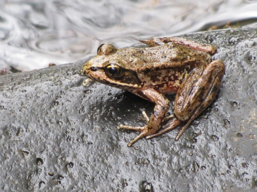 Oregon coast frog