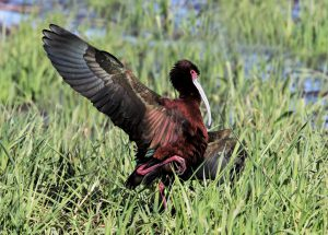 White-faced-Ibis, Kay Scheurer Steele