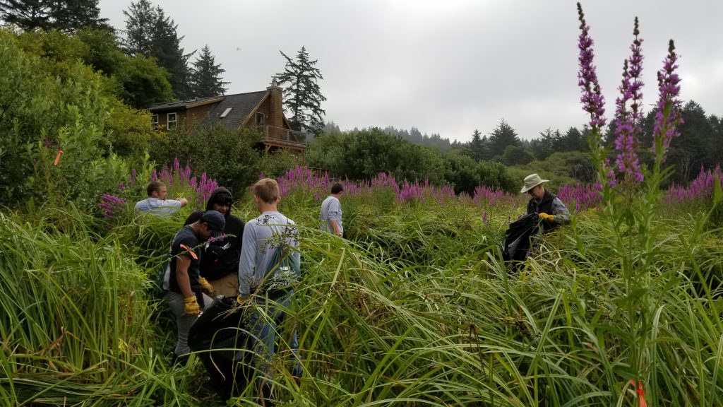Clearing Purple Loosestrife