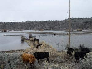 Cows in Harney County flooded field